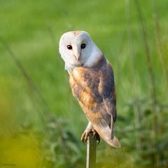 Barn Owl (kc02photos) Tags: barnowl tytoalba essex england uk birdphotography