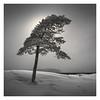 Bonsai (Vesa Pihanurmi) Tags: tree pine nature see winter snow monochrome finland helsinki vuosaari