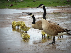 A great day for geese--Explored (yooperann) Tags: canada geese marquette goslings upper peninsula michigan puddles rain