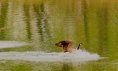 (Feng Sheng) Tags: bird sanctuary