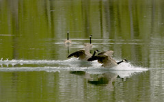 Landing (Feng Sheng) Tags: bird sanctuary