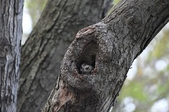Eastern screech owl wild (Mel Diotte) Tags: eastern screech owl wild nature hunter eyes tree camouflage mel diotte explore
