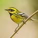 Minimalistic (Townsend's Warbler)