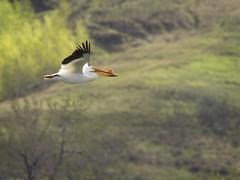 _5190839 (geelog) Tags: yellow pelican bird bif flight