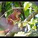 Ecureuil roux (Sciurus vulgaris) femelle