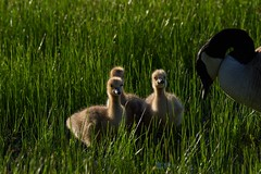 The Three Amigos and Mom2 (cameron.tucker) Tags: gosling baby babygoose goose geese