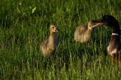 Gosling Sticking Tongue Out at Mom (cameron.tucker) Tags: gosling baby babygoose goose geese