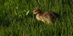 Gosling16 (cameron.tucker) Tags: gosling baby babygoose goose geese