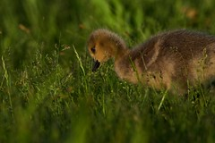 Gosling15 (cameron.tucker) Tags: gosling baby babygoose goose geese