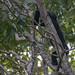 black monkey 4