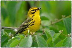 Praire Warbler (RKop) Tags: eastforklake ohio raphaelkopanphotography d500 600mmf4evr 14xtciii nikon