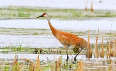 sandhill crane at Cardinal Marsh IA 653A0792 (naturalist@winneshiekwild.com) Tags: sandhill crane cardinal marsh winneshiek county iowa larry reis