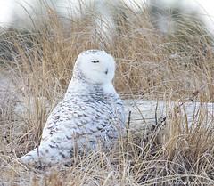Check around (v4vodka) Tags: bird birding birdwatching animal nature wildife owl snowyowl sowa sowka predator raptor buboscandiacus sowasniezna puchaczsniezny nycteascandiaca schneeeule eule 雪鸮