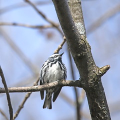 Paruline noir et blanc / Black and white warbler (alainmaire71) Tags: oiseau bird parulidae parulidés mniotiltavaria parulinenoiretblanc blackandwhitewarbler nature quebec canada