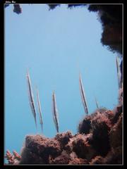 Baie des Citrons 19.05.2019 (CurLy98800) Tags: noumea baie des citrons nouvelle caledonie new caledonia snorkeling diving plonge plage lagon poisson pacific sous marine underwater aeoliscus strigatus poissoncouteau