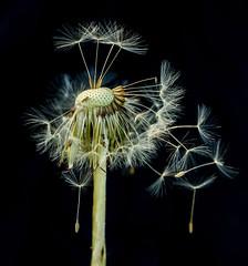Dandelion-6282 (Geoffrey Shuen Photography) Tags: deerlake dandelion