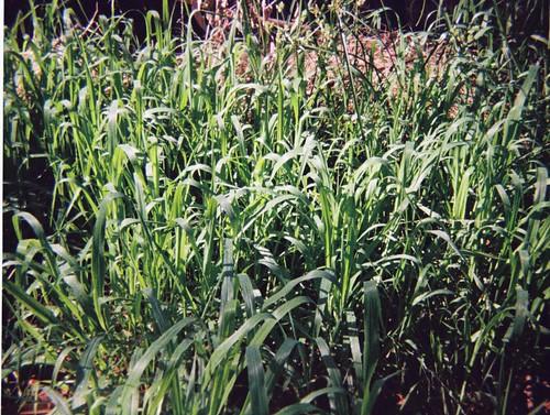 Green weeds (2)