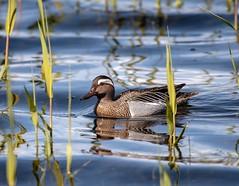 Drake Gargany (Anas querquedula) (Gringer1) Tags: gargany bird duck wildfowl anasquerquedula spynieloch