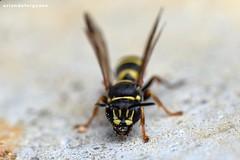 Hoplisoides cf. craverii (Orlando Bees) Tags: spheciformes crabronidae bembicinae sandwasp
