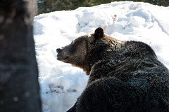 Bears on Grouse Mountain - North Vancouver, Canada (The Web Ninja) Tags: grouse grousemountain mountain vancouver vancouverbc canada explore canadian landscape canon canon70d 70d photo photography photographer travel travelling british columbia britishcolumbia bc bccanada northvancouver northvan nature bear bears animal