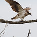 Osprey With A Fish Tail