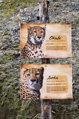 Cheetah Behind the Scenes. (LisaDiazPhotos) Tags: cheetah behind scenes name signs lisadiazphotos sandiegozoo sandiegozooglobal sandiegozoosafaripark sdzsafaripark sdzoo sdzsp