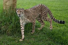 Ruuxa the Beautiful Cheetah. (LisaDiazPhotos) Tags: cheetah ruuxa rainy day lisadiazphotos sandiegozoo sandiegozooglobal sandiegozoosafaripark sdzsafaripark sdzoo sdzsp