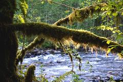treehousepoint_30 (natashatakasato) Tags: treehousepoint washington river moss forest pnw sonya6000