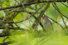 Nightingale - Woods Mill (192) (Malcolm Bull) Tags: include woods mill nature reserve 20190519woodsmill0192edited1web nightingale