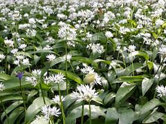 Wild garlic, Allium ursinum (2) (Geckoo76) Tags: wildgarlic alliumursinum ramsons