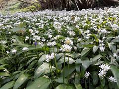Wild garlic, Allium ursinum (1) (Geckoo76) Tags: wildgarlic alliumursinum ramsons