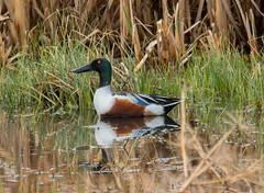 Spoon Bill (Pbreezer) Tags: waterfowl ducks spoonbill outdoorphotography outdoors nikon d7100 nature naturephotography