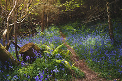 *** (Lee|Ratters) Tags: sony a7 voigtlander cv40 f12 bristol bluebells woodland scenery light priors wood nature walk