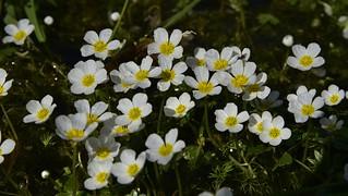 Schild-Wasserhahnenf u (Ranunculus peltatus) in einem Entwsserungsgraben; Bergenhusen, Stapelholm (84)