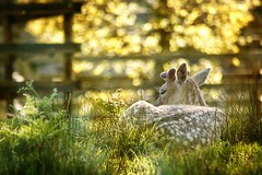 Resting Bradgate Fallow Deer (ianderry64) Tags: peaceful tranquil 500mm backlit oaks trees leaves light sunshine wildlife stag male deer fallow park bradgate resting