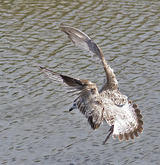 Untidy take-off (Gill Stafford) Tags: gillstafford gillys image photograph wales northwales conwy pentremawr park abergele bird herring gull seagull juvenile flying takeoff