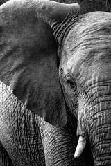 Shamwari elephant (GaryAChurch123) Tags: closeup ear tusk eye lightroom blackandwhite canon southafrica africa gamereserve shamwari elephant