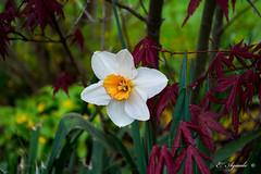 Daffodil (E. Aguedo) Tags: flower garden perennial color bokeh spring warwick rhodeisland newengland beautiful ngc nature