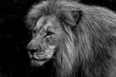 Shamwari lion (GaryAChurch123) Tags: lion gamereserve edited safari lightroom blackandwhite shamwari southafrica africa 77d canon