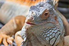 Iguana lazing in the warmth (Merrillie) Tags: fauna brown singapore lizard reptile iguana sentosa animal