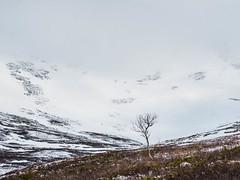 Season change II (Fjällkantsbon) Tags: doroteakommun sverige klöverdalenmedomgivningar lappland borgafjäll vårvinter evamårtensson västerbottenslän springwinter sapmi birch mountainbirch lapland