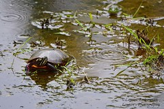 Hey! Who's making ripples in my pond? (lauren3838 photography) Tags: laurensphotography lauren3838photography pond marsh turtle reptile snappingturtle frog nature ilovenature md mdinfocus maryland marylandphotographer nikon d750 tamron tamron150600 carolinecounty easternshore chesapeakebay wildlife adkinsarboretum