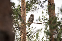 Keeping watch (Storm'sEndPhoto) Tags: 2019 anselsiegenthaler stormsendphotography stormsendphoto animal bird birdofprey fullframe nikon nikonphotography owl pöllö raptor strixuralensis telephoto viirupöllö wildlife finland suomi kevät spring forest metsässä