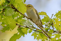 DSC3434  Wood Warbler... (Jeff Lack Wildlife&Nature) Tags: woodwarbler warbler warblers songbirds summermigrant birds bird avian animal animals wildlife wildbirds wetlands woodlands woods woodland wildlifephotography jefflackphotography farmland forest forests forestry trees countryside nature