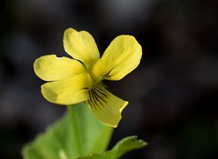 Smooth Yellow Violet (jmunt) Tags: wildflower flower violet yellowviolet violapubescenseriocarpa nature nativewildflower