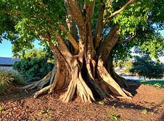 Fig Tree (simonmgc) Tags: benowa goldcoast moraceae queensland tree ficus ficussp ficusvirens