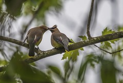 Dinner Date (Odonata457) Tags: ceder waxwings bombycillacedrorum courtship behavior catoctinmountains frederickcounty maryland