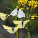 Harilik lapsuliblikas; Gonepteryx rhamni; Brimstone ♂♀