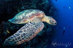 Take-off (Lea's UW Photography) Tags: lealee canon5dmk3 subal canonef815mm fisheye wideangle bunaken underwater turtle