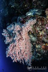 sweet home (Lea's UW Photography) Tags: lealee canon5dmk3 subal canonef815mm fisheye wideangle bunaken underwater
